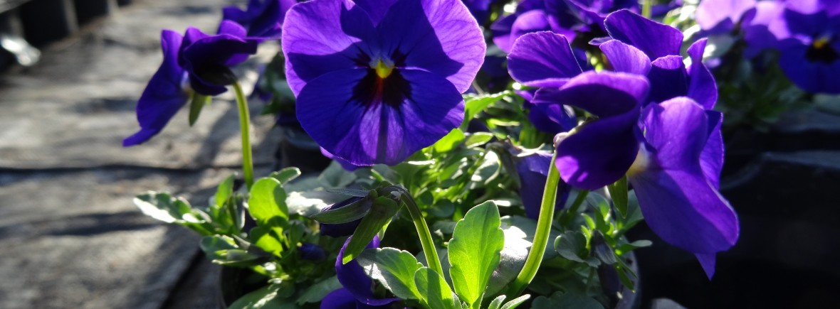 Pensees à petites fleurs (Viola Cornuta)
