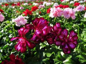 G ranium barbier horticulture - Geranium lierre double retombant ...