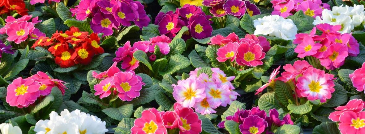 primroses-2062993_1920